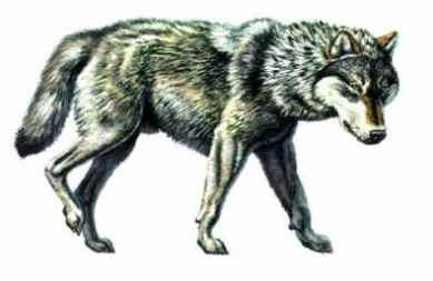 Dire-wolf2