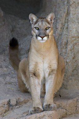 Mountain-Lion-0011